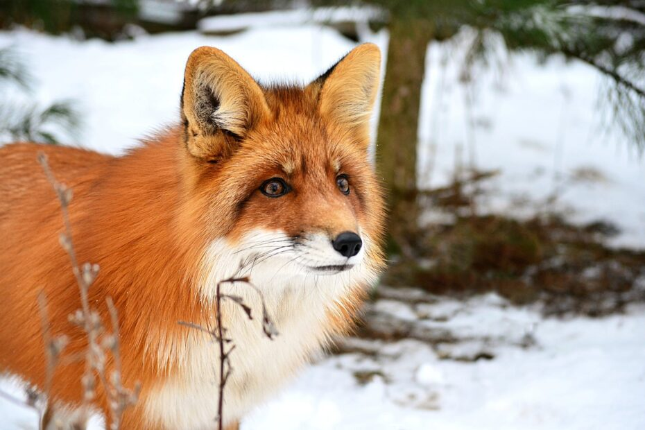 fluffy red curious fox in winter forest